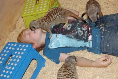 A child lying on his back with meerkats climbing over him