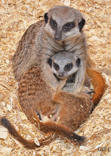 A group of three meerkats