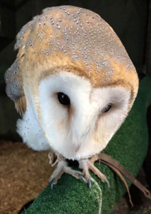 Looking down on the head of a perched barn owl